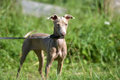 Puppy peruvian hairless dog inca orchid the inca Stock Photography