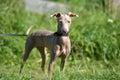 Puppy Peruvian Hairless Dog Royalty Free Stock Photo