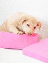 Puppy in a pink box sitting Stock Photos