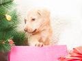Puppy in a pink box sitting Stock Images