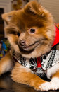Puppy pom pomeranian with christmas sweater on top of the table and shy Stock Photos