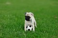 Puppy pug Stock Photos