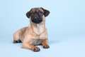 Puppy pug on blue background little laying Royalty Free Stock Photography