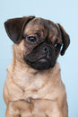 Puppy pug on blue background little portrait Stock Image