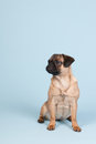 Puppy pug on blue background little sitting Royalty Free Stock Photos