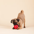 Puppy pug on cream background little playing with ball Stock Photography