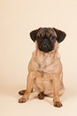 Puppy pug on cream background little sitting in studio Royalty Free Stock Images