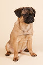 Puppy pug on cream background little sitting in studio Stock Photo