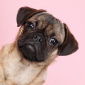 Puppy pug on pink background little portrait Stock Image