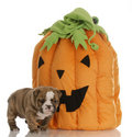 Puppy with pumpkin Stock Photos