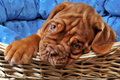 Puppy  in pup cot Stock Images