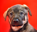 Puppy on a red Royalty Free Stock Photo