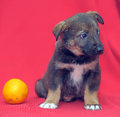 Puppy on a red background Royalty Free Stock Photo