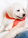 Puppy with red ribbon on the neck on the hands Royalty Free Stock Photos