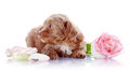 Puppy with a rose Stock Image