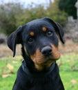 Puppy Rottweiler Stock Image