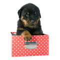 Puppy rottweiler Royalty-vrije Stock Foto