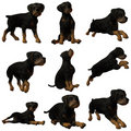 Puppy Rottweiler Stock Photos