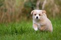 Puppy runs a small mixed breed is weeks old full throttle at which over a green meadow Royalty Free Stock Photography