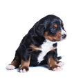Puppy sennenhund, one month old Stock Images