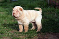 Puppy shar pei Stock Photos