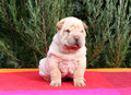 Puppy sharpei Royalty Free Stock Photo