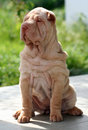 Puppy sharpei sitting Stock Photo