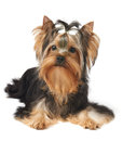 Puppy of show class the yorkshire terrier over white Stock Images