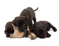 Puppy siblings Stock Photography