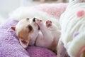 Puppy Small Chihuahua White Br...
