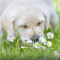 Puppy sniffing flowers golden labrador dog exploring garden and Stock Photo