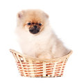 Puppy of a spitz-dog Royalty Free Stock Photography