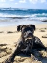 Puppy stare at the beach Royalty Free Stock Photo