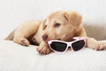Puppy and sunglasses cute little is holding in his mouth Stock Photos