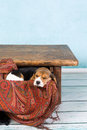 Puppy in table drawer tired little seven weeks old beagle sleeping a Stock Photos