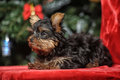 The puppy of the terrier Royalty Free Stock Images