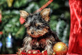 The puppy of the terrier Royalty Free Stock Photo