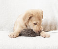 Puppy with toy prey in the teeth Royalty Free Stock Image