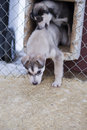 Puppy two months old husky dog sled portrait while looking at you Stock Photo