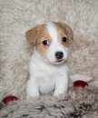 Puppy van Hefboom Russel Terrier Stock Fotografie