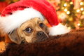 Puppy waiting for santa a puggle to come Royalty Free Stock Photos