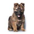 Puppy on white background purebred Stock Photos