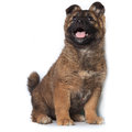 Puppy on white background purebred Royalty Free Stock Photos