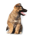 Puppy on white background purebred Stock Images