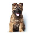 Puppy on white background purebred Royalty Free Stock Image