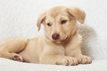 Puppy on a white bedspread Stock Images