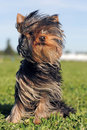 Puppy yorkshire terrier Royalty Free Stock Photo