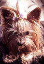 Puppy yorkshire terrier on the background Royalty Free Stock Photo