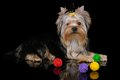 Puppy of the Yorkshire Terrier on black Stock Photography