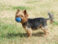 Puppy yorkshire terrier on the green grass background,Cute Yorkshire Terrier Dog Playing in the Yard, One small yorkshire terrier, Royalty Free Stock Photo